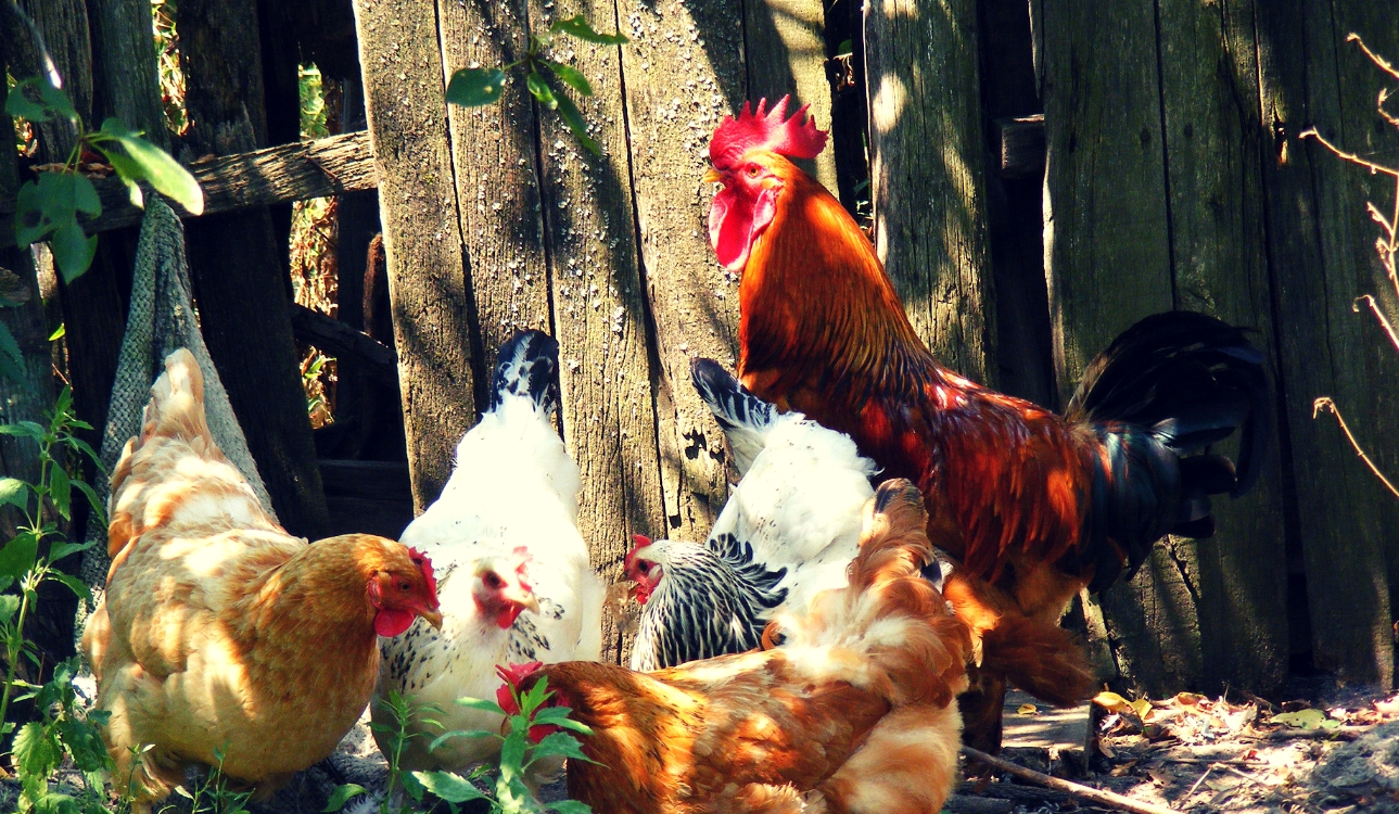 Image of Assorted colored chickens with 1 orange, black, and red rooster in front of a barn door